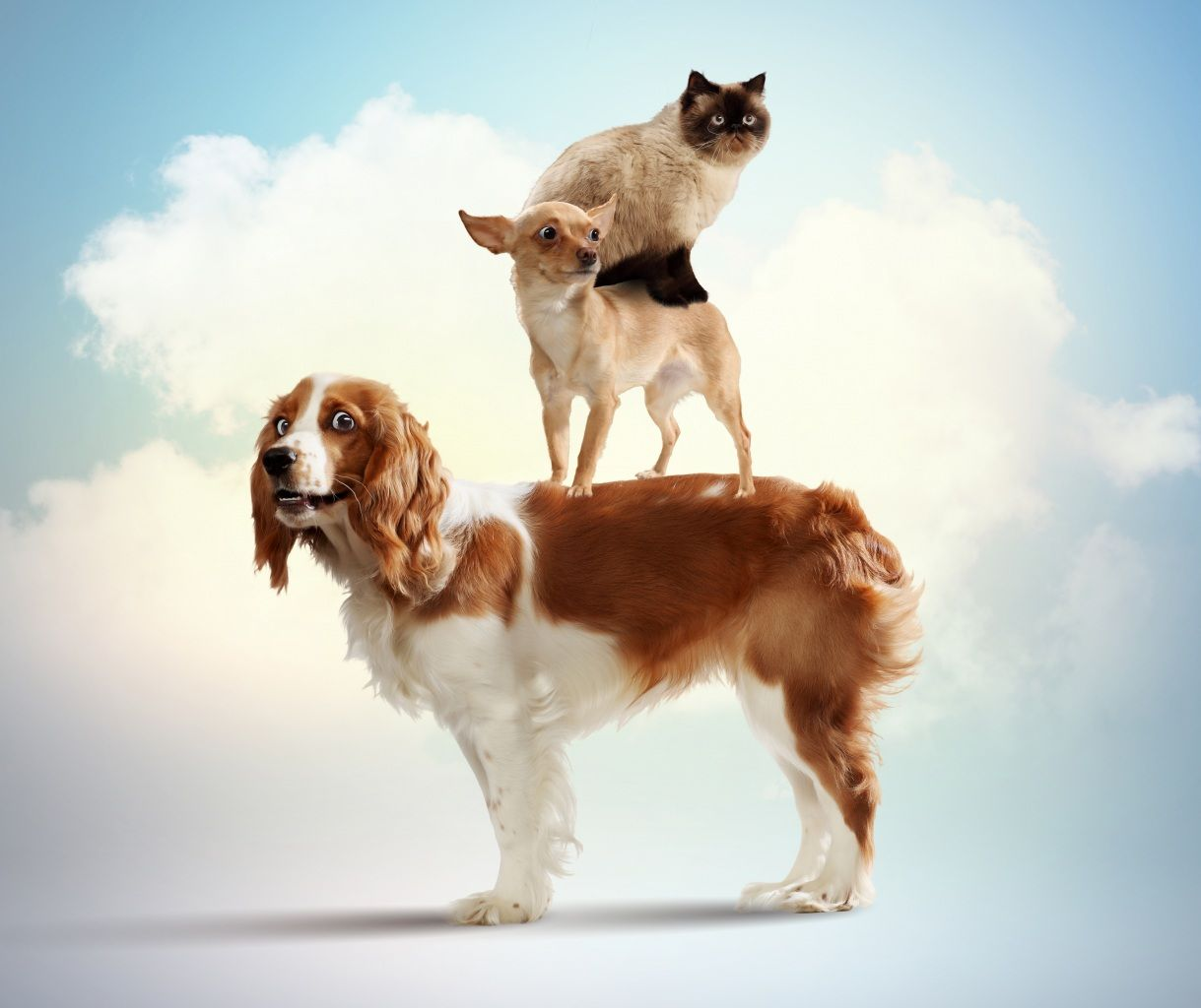 Dogs cats chihuahua three spaniel animals amazing animals