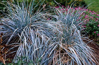 Rhs plant selector elymus magellanicus rhs gardening g a r d e n rhs plant selector elymus magellanicus rhs gardening g a r d e n pinterest grasses plants and gardens workwithnaturefo