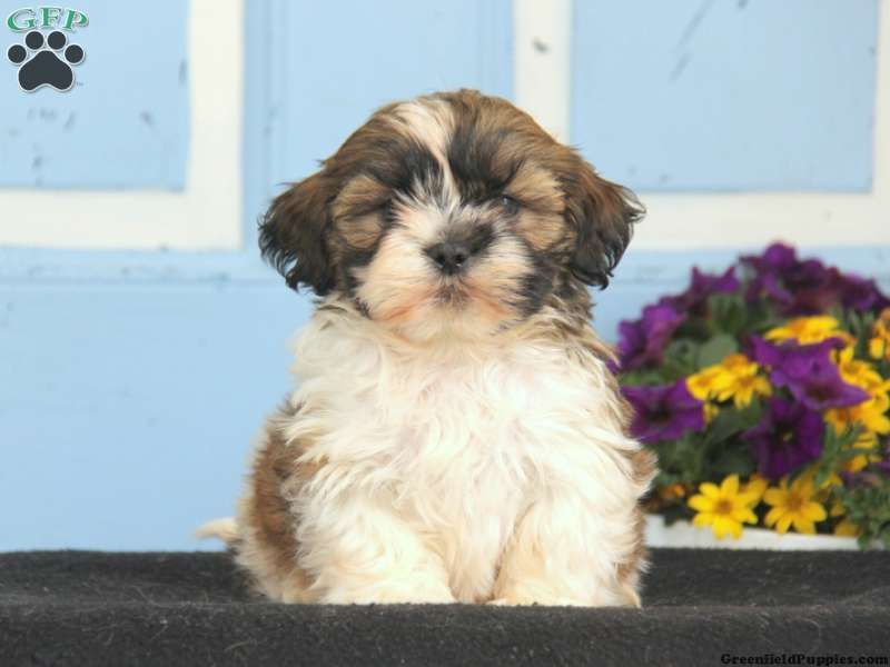 Blaze Havachon Puppy For Sale In Pennsylvania Puppies For Sale Puppies Blazed