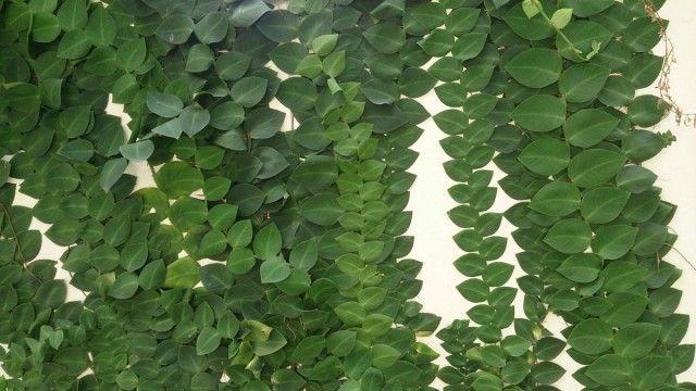 Рафидофора — комнатная лиана для настенного озеленения ...