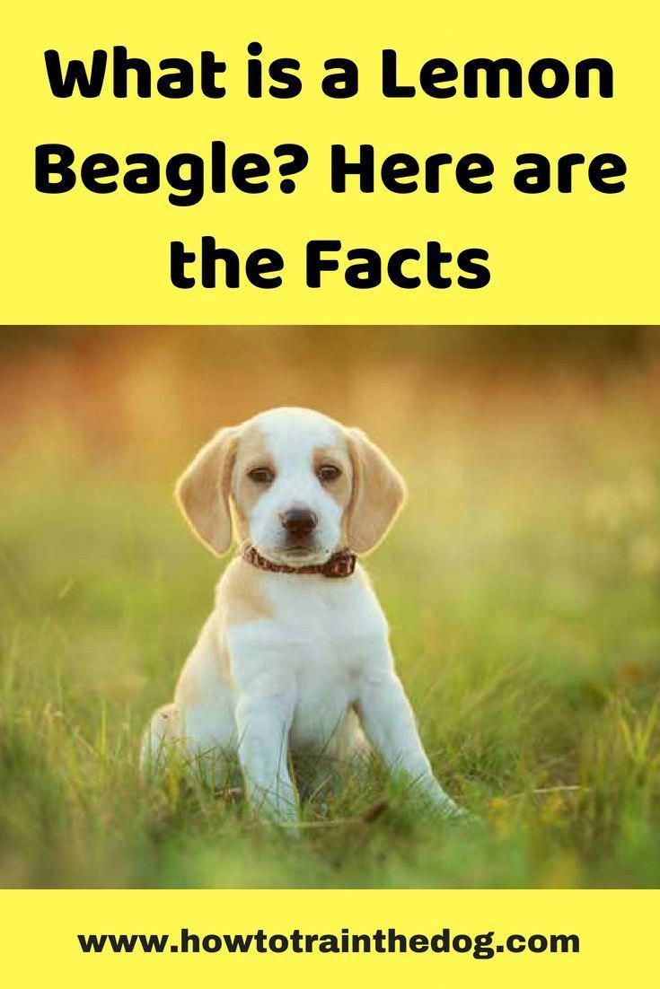 Some Of The Things We Respect About The Curious Beagle Dog Beagle