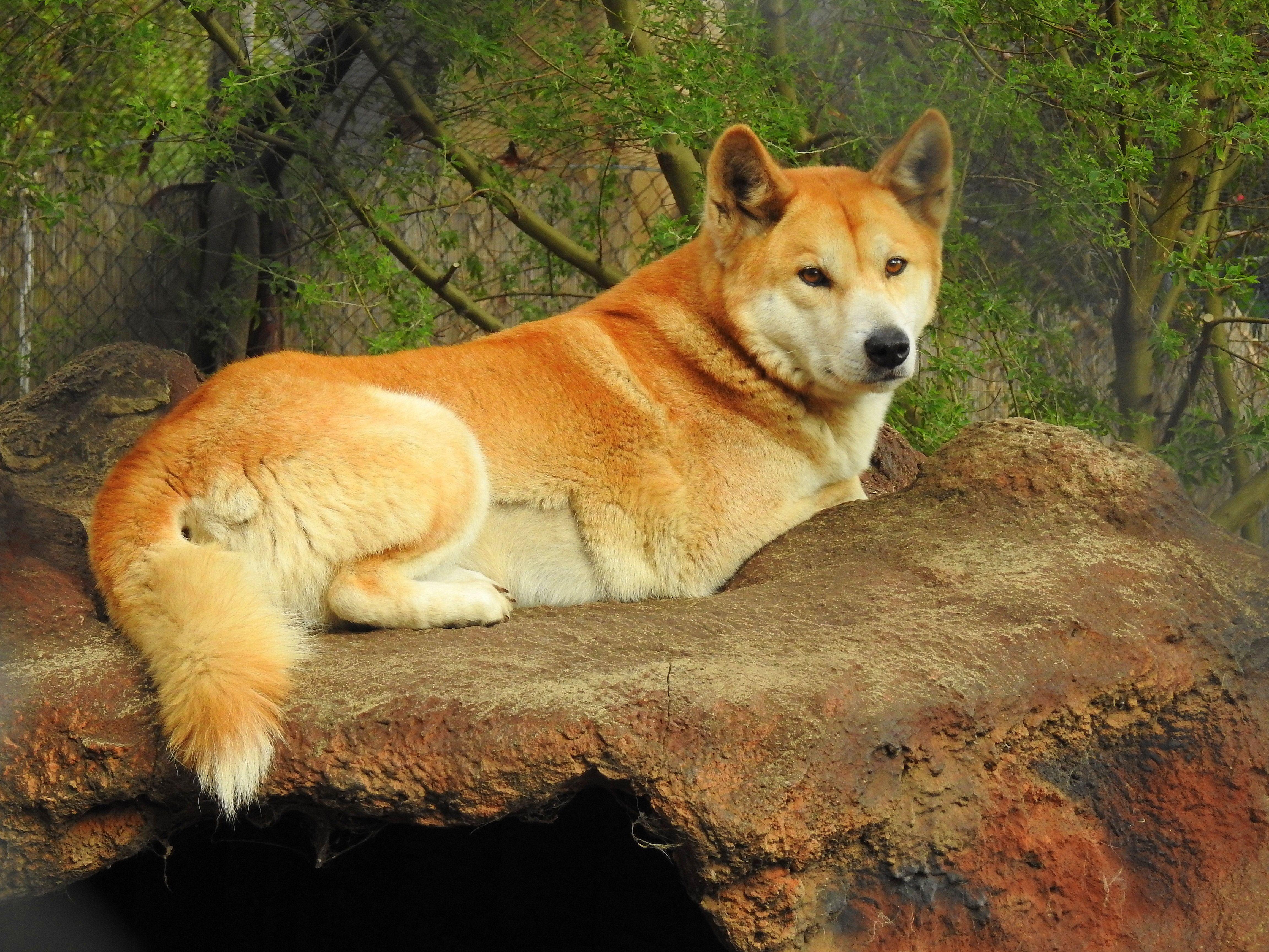 Australian Dingo at the Armadale Wildlife & Reptile Park