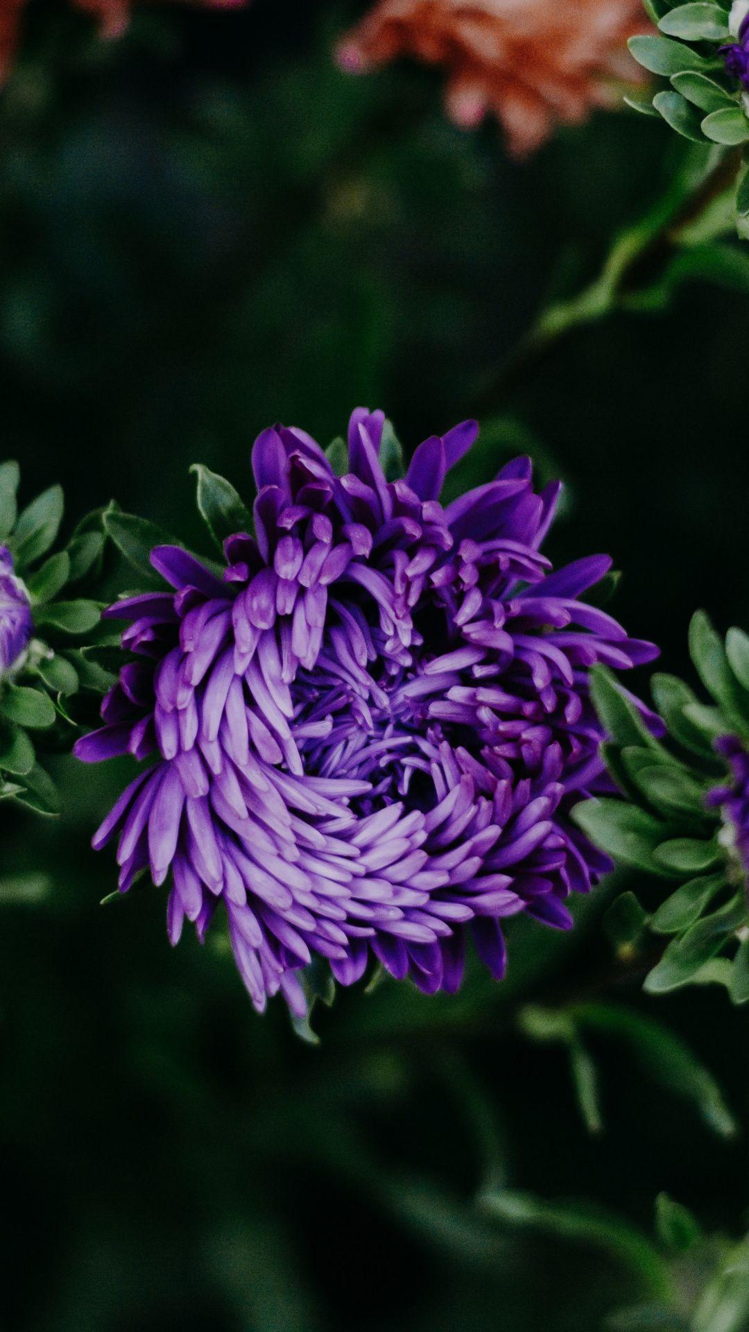 Purple Flower Chrysanthemums Bloom 1080x1920 Wallpaper Purple Flowers Flowers Bloom