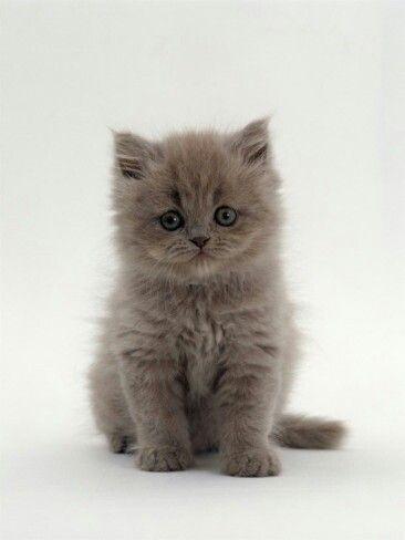 I want a grey Persian really bad haha Adorabili gattini