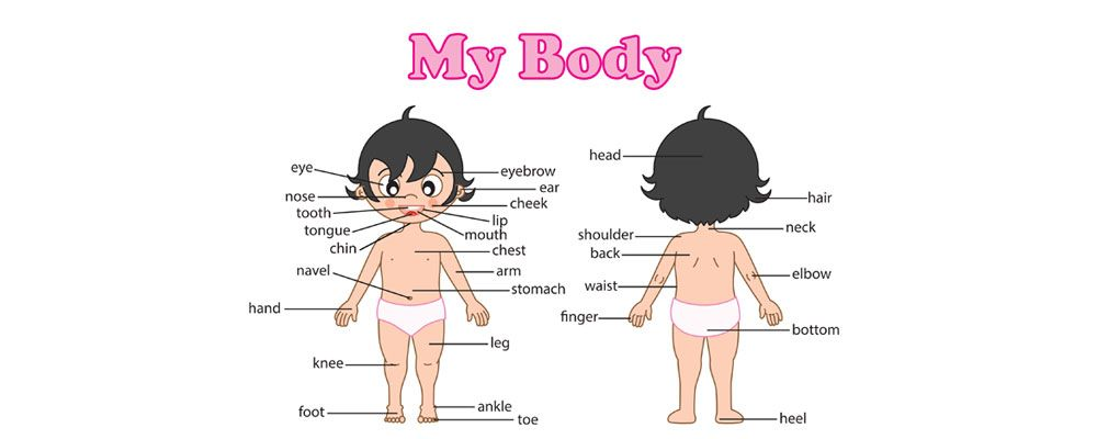 Human Body Pictures For Kids 1000+ images about body systems on ...