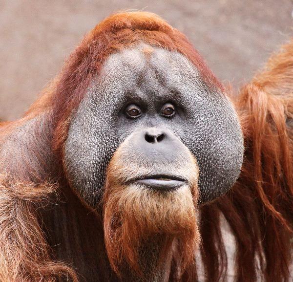 Male Borneo Orangutan Face Apics Borneo Orangutan