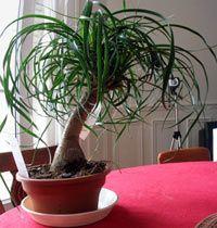 Бутылочное дерево нолина выращивание 659