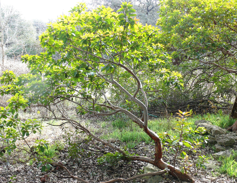 native texas trees | Madrone trees. (photo by Bill Ward)