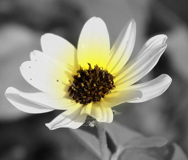 Love the single daisy with a kiss of yellow coloring.