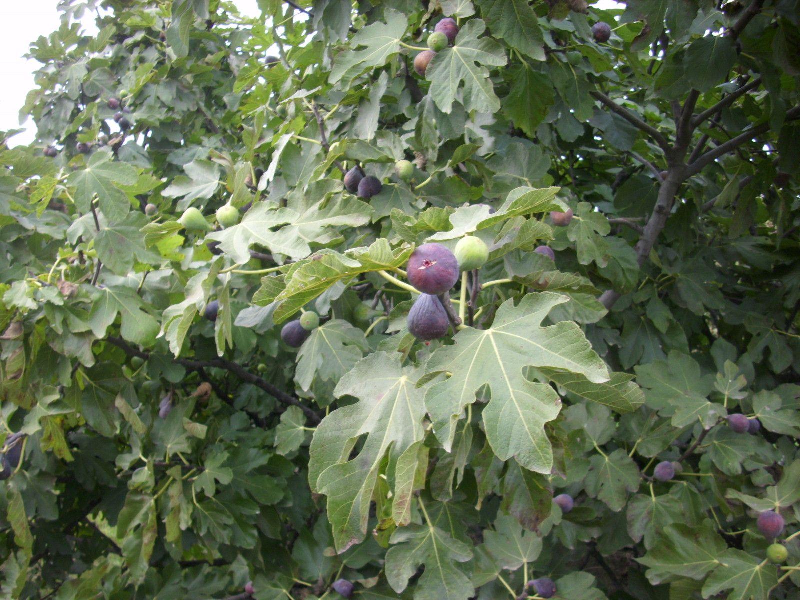 Figues - Figs - Higos  @ Camps Aladesa - Sant Feliu de Llobregat