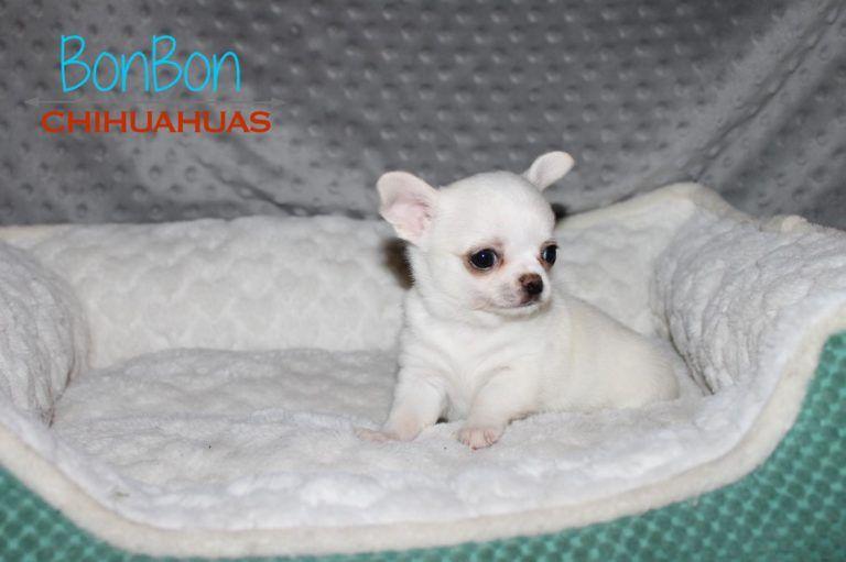 Chihuahua Puppies For Sale Chihuahua Puppies Cute Chihuahua
