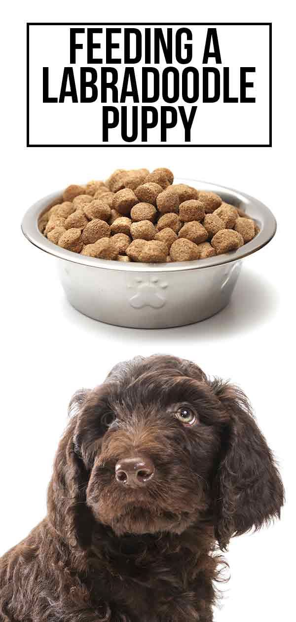 Feeding A Labradoodle Puppy The Best Possible Diet