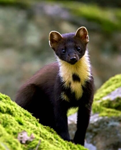 Pine Marten (Declan O' Mahony) have what is termed 'delayed implantation' , which means that fertilised eggs are not implanted in the uterus until the following January. This is to ensure that young (kits) are born during the most favorable time of year, w