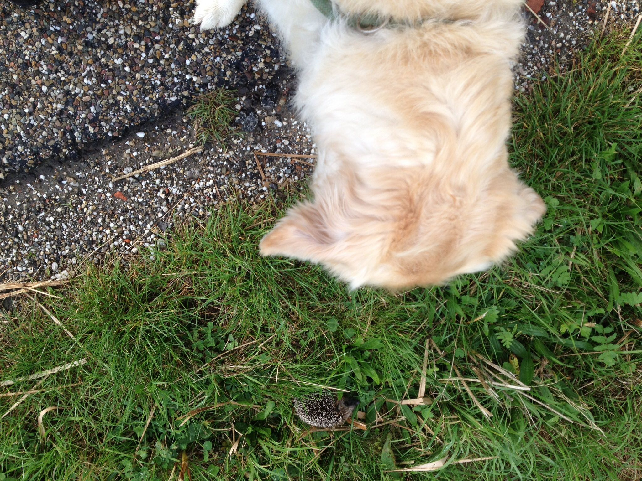 Wat Ollie vandaag in de berm ontdekt, heeft hij blijkbaar nog nooit gezien. Een egel. Eerst blijft hij stokstijf staan om daarna een ruk aan de riem te geven om aan dat vreemde beest te kunnen snuffelen. Het egeltje rolt zich op en zet zijn stekels op. Ollie piept en springt achteruit. Heb nog nooit een hond zo zien schrikken.
