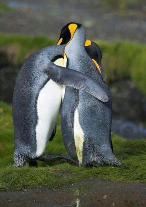King Penguins Hugging in Courtship