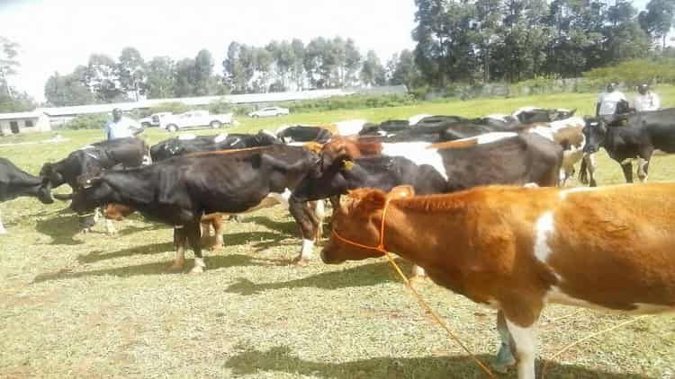 Groups in Kimilili given dairy cows by county govt.
