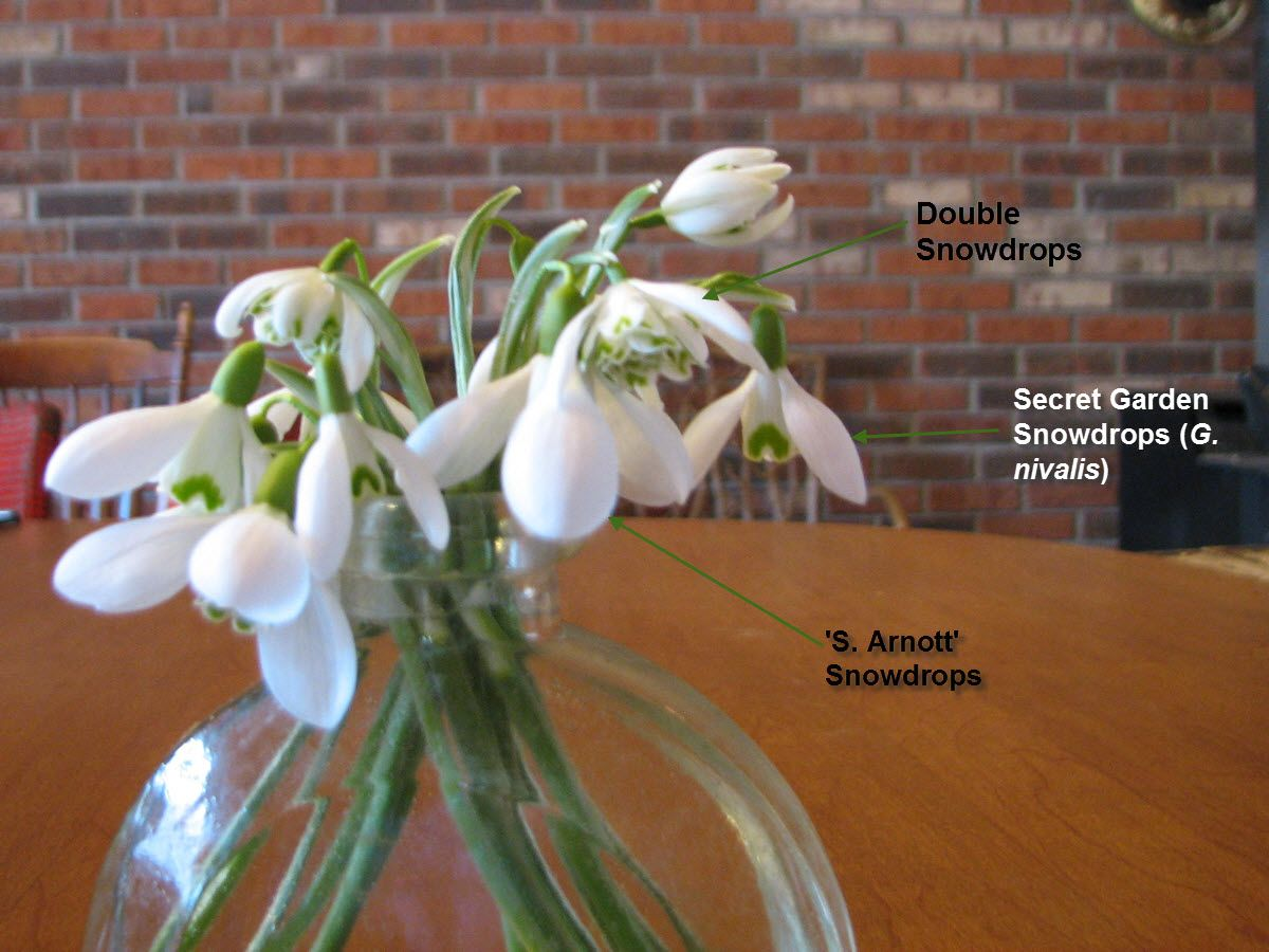 Snowdrop Bouquets Cold Climate Gardening Simple Flowers Garden