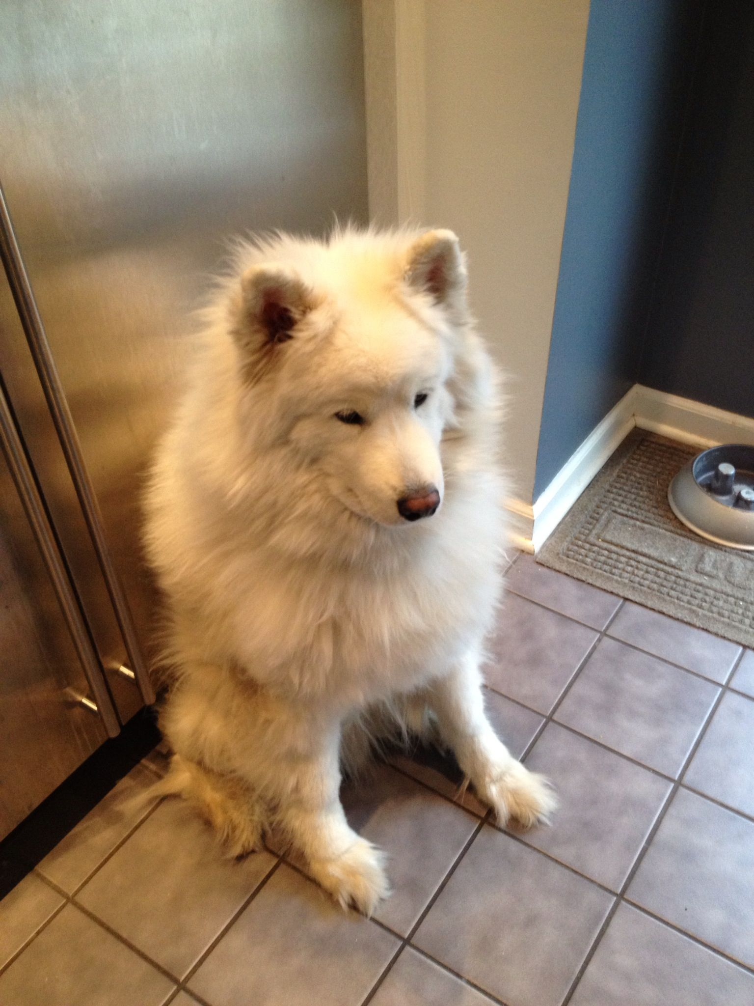 Luke waiting for a carrot while I make soup! Samoyed