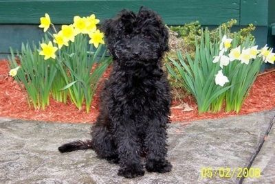 Whoodle Dog Breeds Pictures