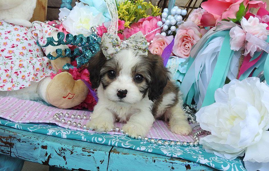 Cavachon puppies for sale cavachon cavachon puppies