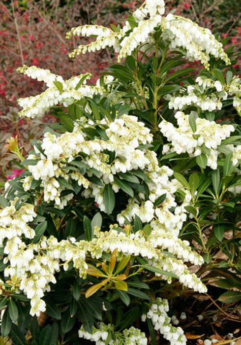 More heat tolerant than standard Pieris japonica Mountain Snow offers interest in the garden with both foliage and showy blooms. New bronze-colored foliage matures to dark green; attractive pendulous flower buds appear in summer and persist through winter before opening in early spring with beautiful ivory white flowers.