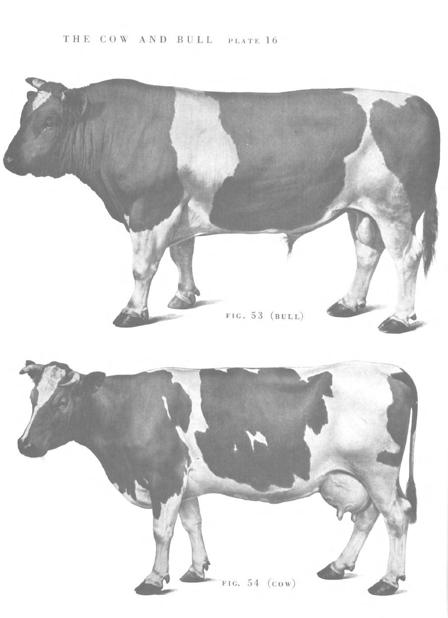 Cow and bull | Bovines | Pinterest | Cow, Anatomy and Animal anatomy