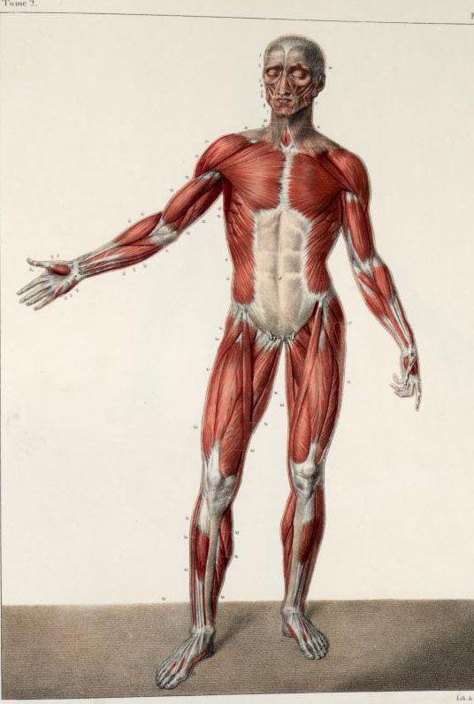 Traité complet de l'anatomie de l'homme (1866-1871) 2nd ed. Tome 2. Pl. 60. [Traité complet de l'anatomie de l'homme comprenant la médecine opératoire (https://pinterest.com/pin/287386019941966857/), par le docteur Jean-Baptiste Marc Bourgery (https://pinterest.com/pin/287386019948321810). Illustration by Nicolas Henri Jacob, 1831-1845].