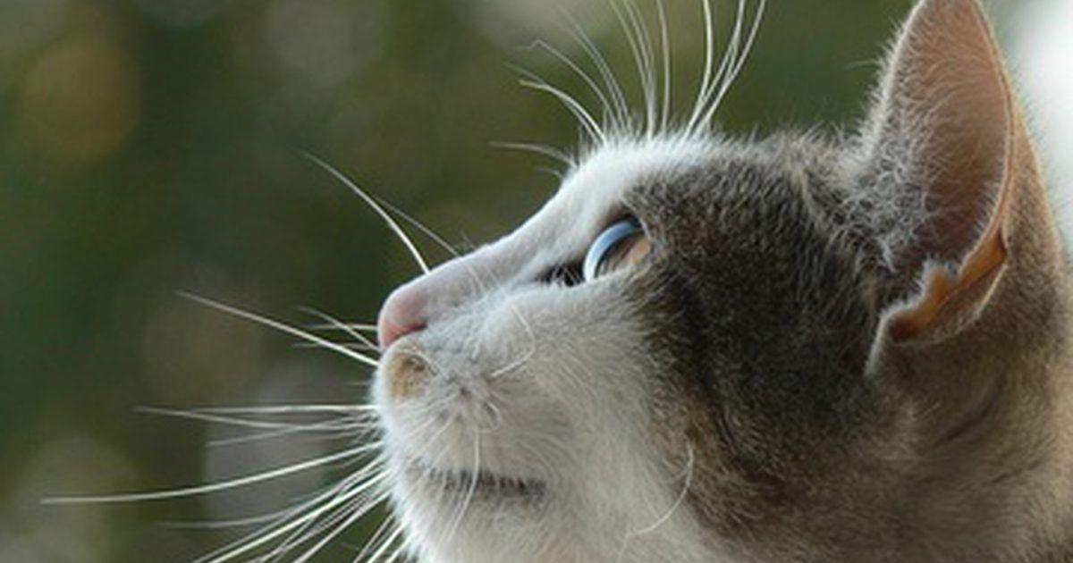 remédio para infecção urinária em gatos
