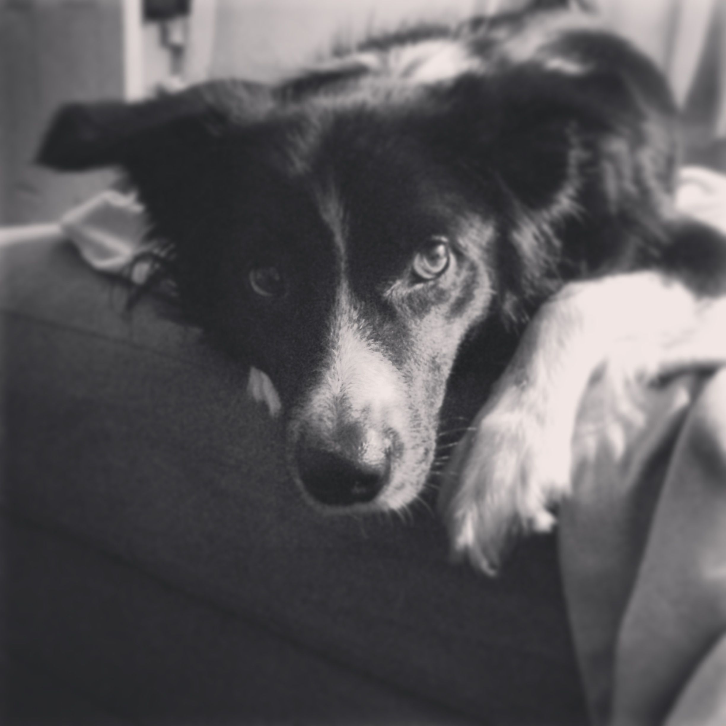 I recently discovered that i want a dog - Border Collie