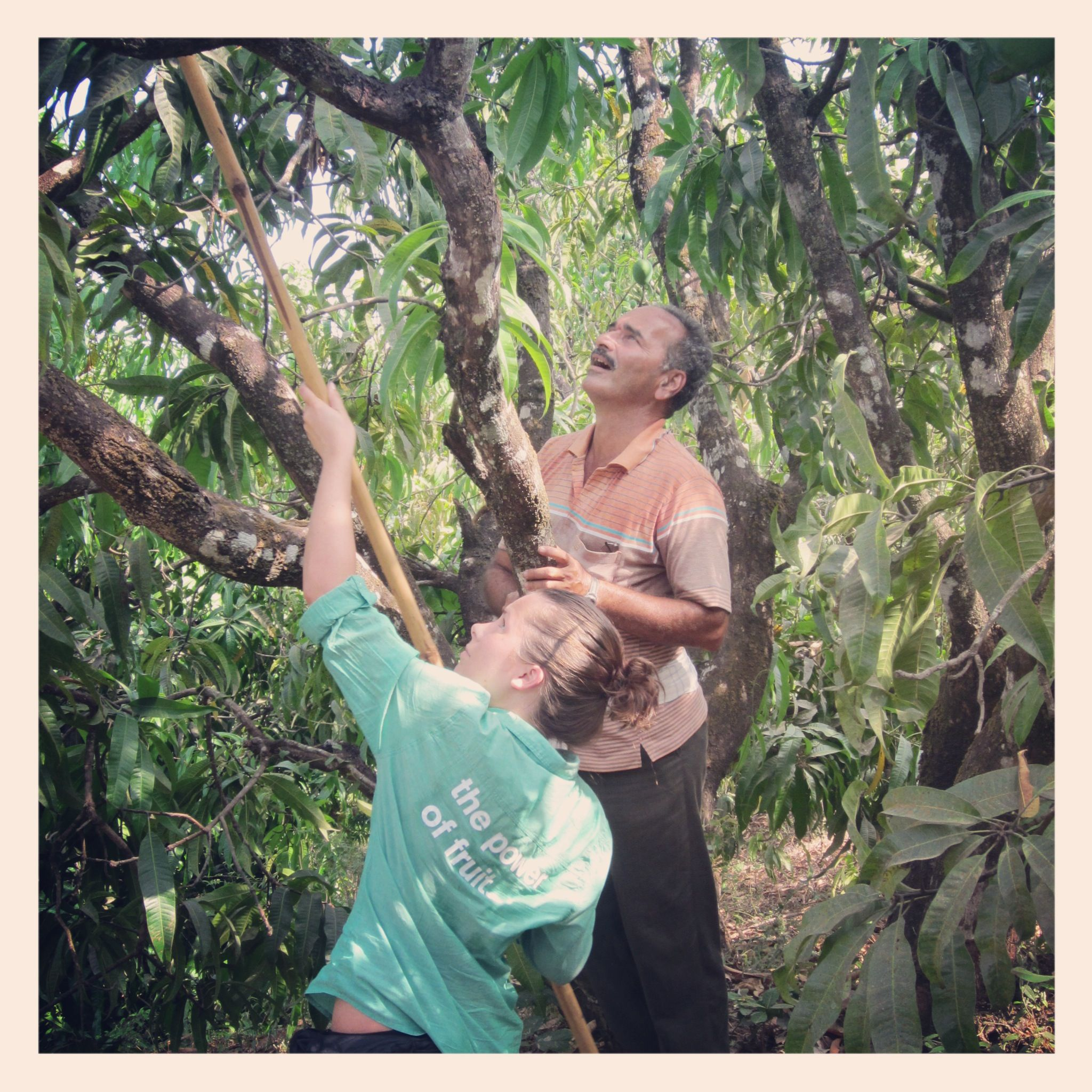 learning to pick mangoes in india.