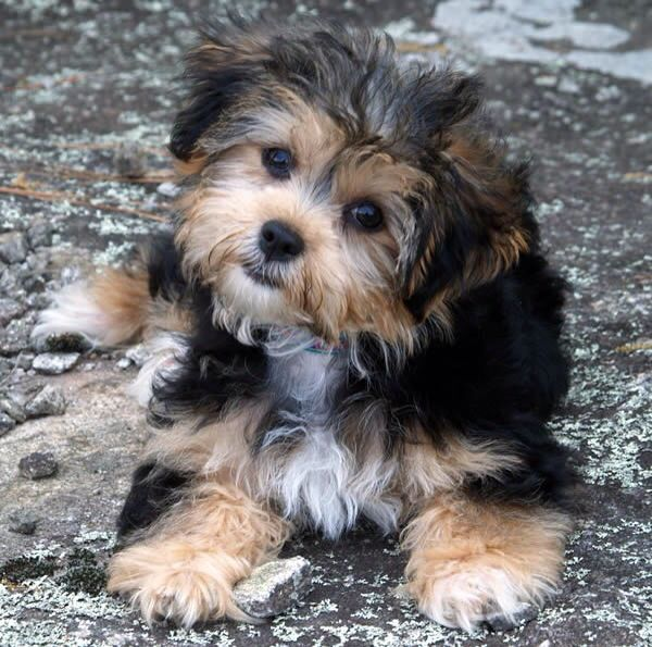 Havanese Fluffy Adult. Love This Color!