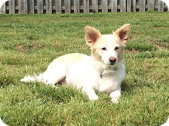 Jacksonville Nc Corgi Spaniel Unknown Type Mix Meet Mama A