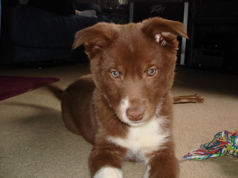 Coco As A Pup Border Collie Red Husky Mix My Favorite Picture I