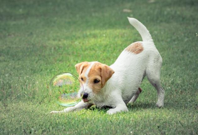 Good Breeder Little Eden Jacks Jack Russell Terrier Jack Russell Terrier Puppies Jack Russell