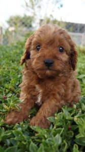 Cavoodle Puppies For Sale Pines Pets Pets Puppies For Sale