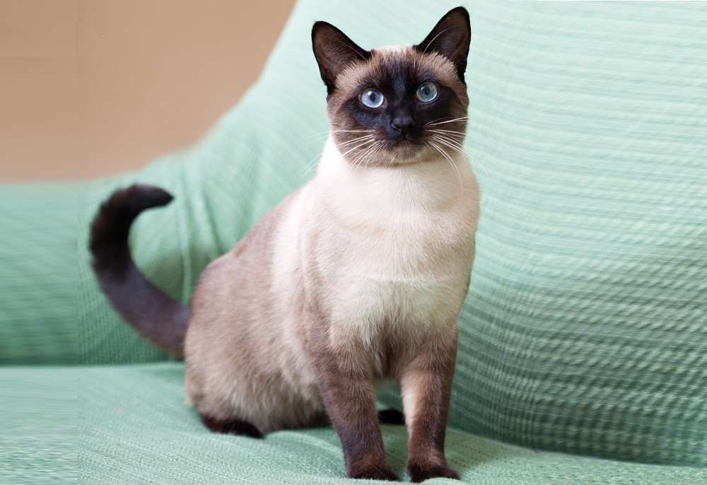 The Traditional Siamese Cat Cat Breeds Encyclopedia Siamese Cats Cute Cats Siamese Cats Blue Point