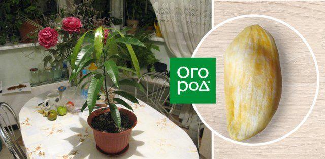 можно вырастить манго