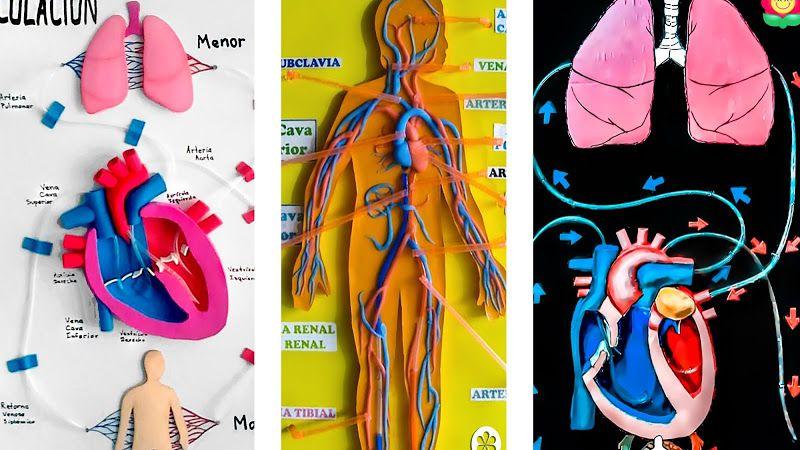 Maquetas Del Sistema Circulatorio Fáciles Manualidades Mamaflor Sistema Circulatorio Silueta Del Cuerpo Humano Sistemas Del Cuerpo Humano