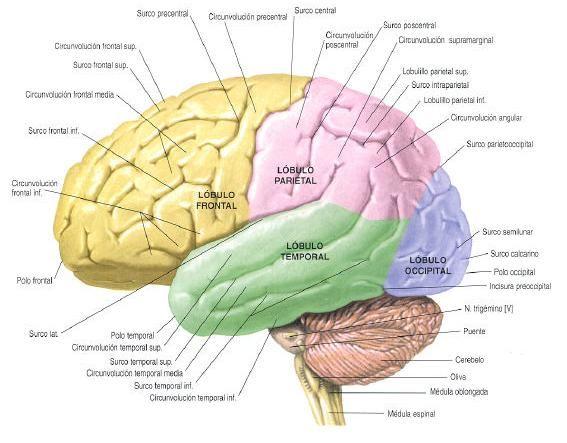 CEREBRO HUMANO Y SUS PARTES - 3 | cerebro | Pinterest | El cerebro ...