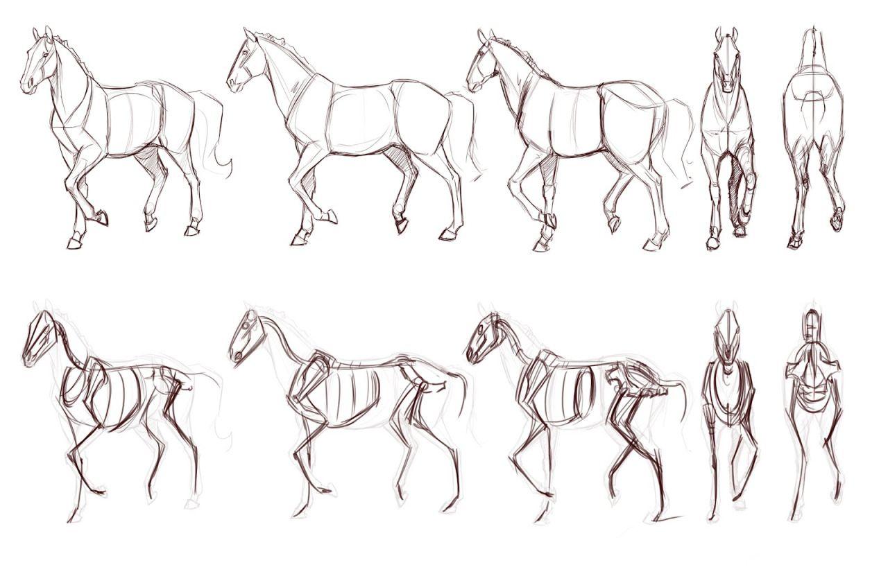 animal anatomy for artists - Поиск в Google | animal anatomy for ...