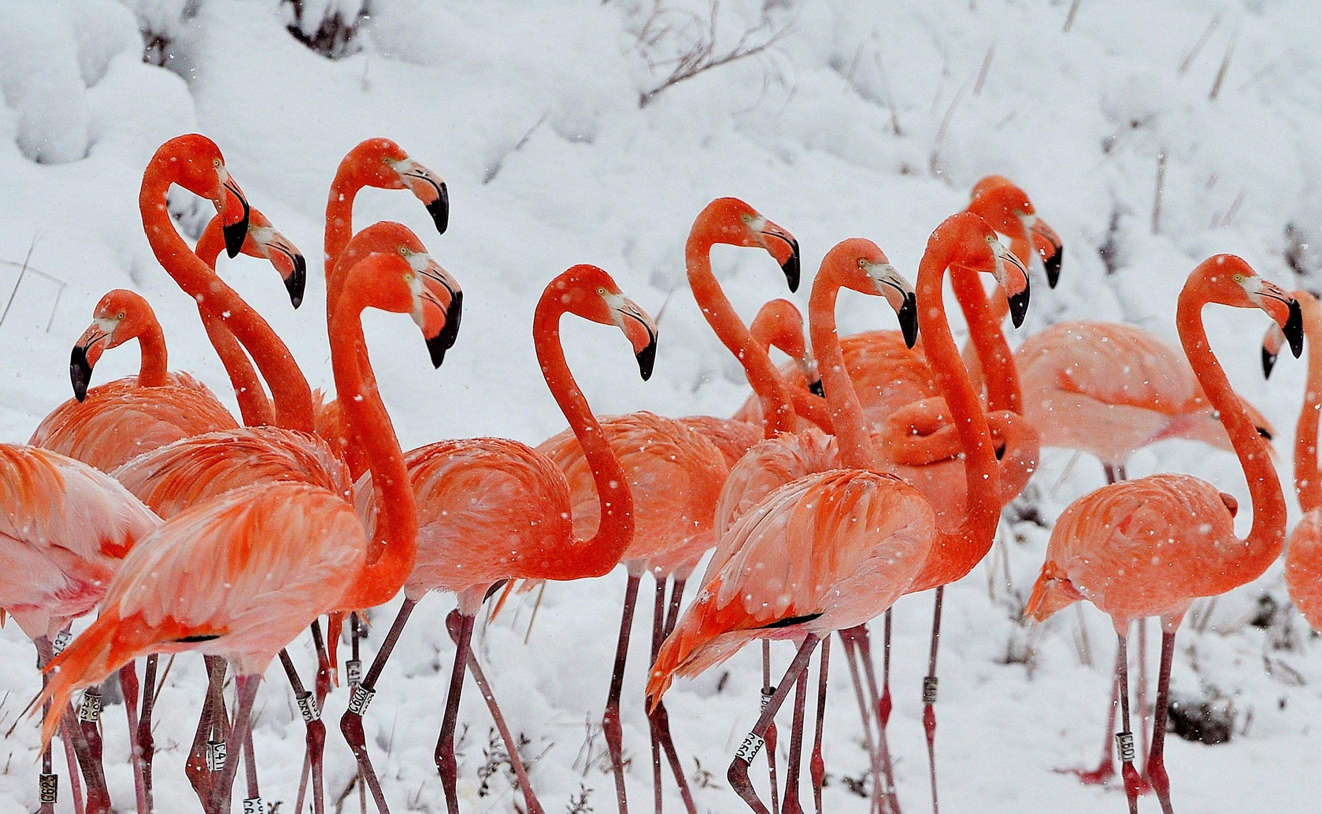 Pretty little flamigos all in a row, I mean in the snow! Weird huh? Snow falls on a flock of flamingos standing on a snow-covered field at a wildlife zoo in Hefei, China, on Jan. 29, 2015