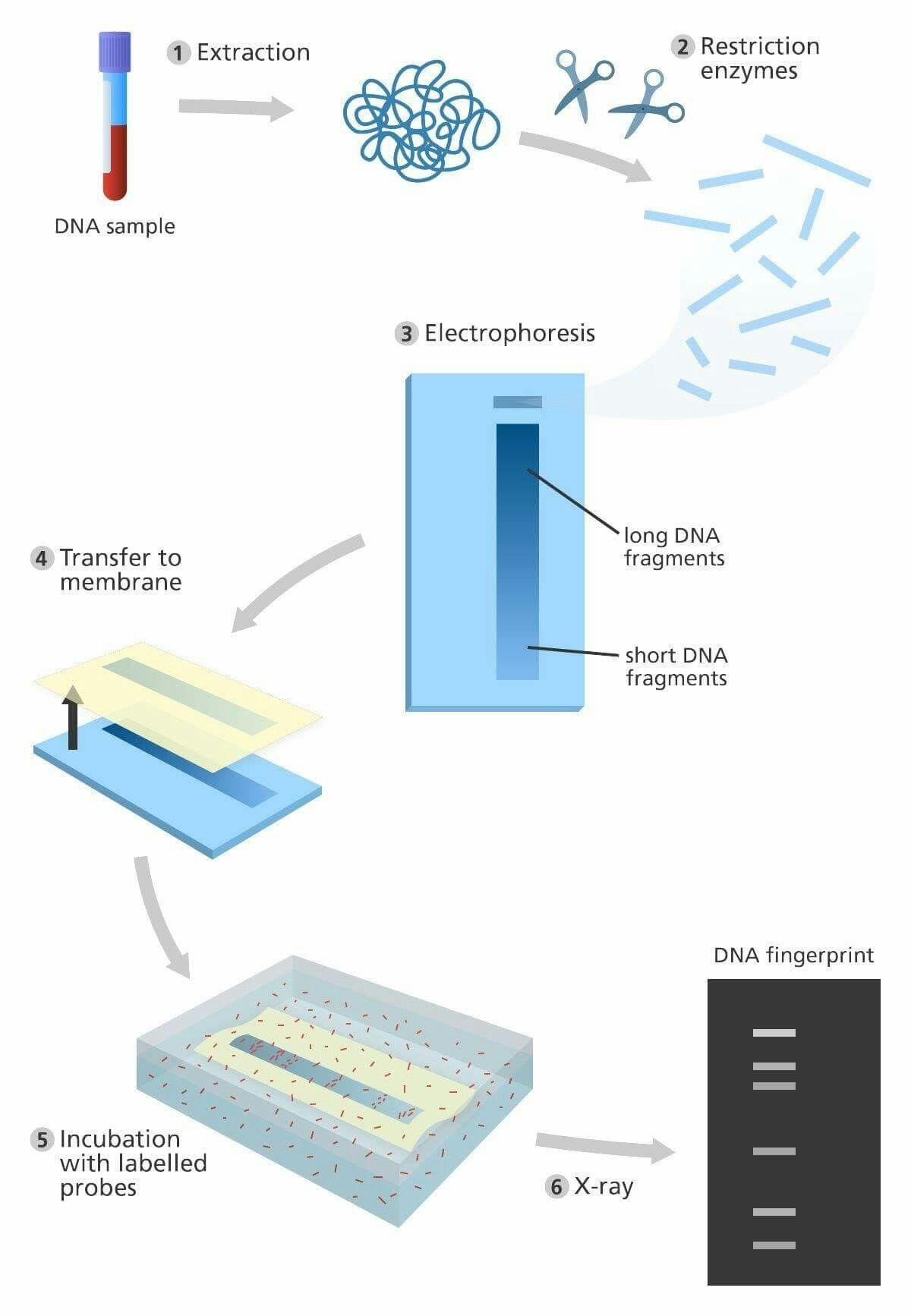 Pin by anushya ani on biotechnology dna fingerprinting