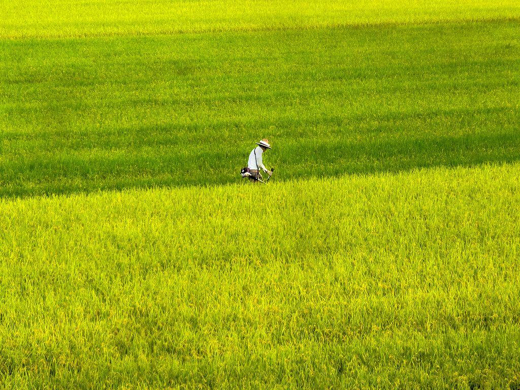 A farmer walking through the rice fields in Saga City, Japan.