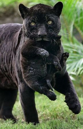 Black Panther<-br />-