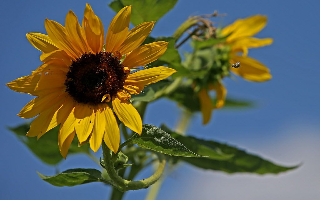 Sunflowers Are Solar Powered Super Blooms Sunflower Bloom Plants