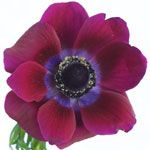 Anemone - Purpley Fuchsia
