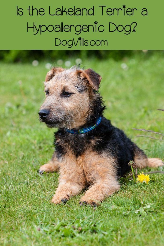 Is the Lakeland Terrier Hypoallergenic? Lakeland terrier