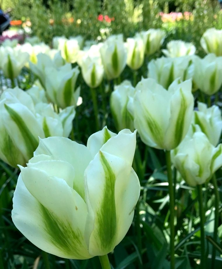 Tulip Spring Green Award Winning Spring Green Is Ivory White With Soft Green Featherings And Light Green Anthers Bulb Flowers Spring Tulips Flowers Perennials