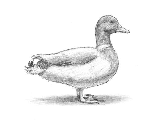 how to draw a duck kindergarten