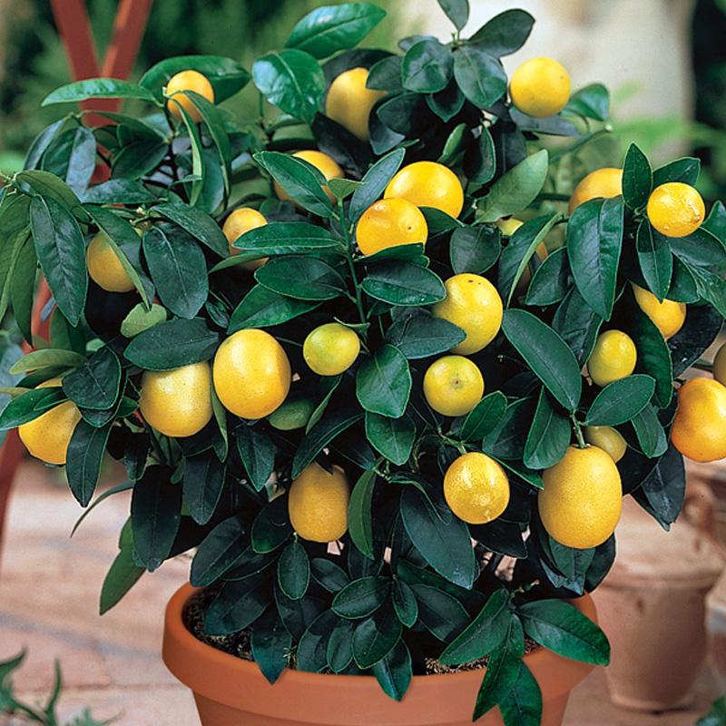 Meyer Lemon From Stark Bro S Fruit Trees In Containers Growing Fruit Trees Meyer Lemon Tree